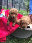 toy-poodle-puppies-for-free-adoption_1.jpg